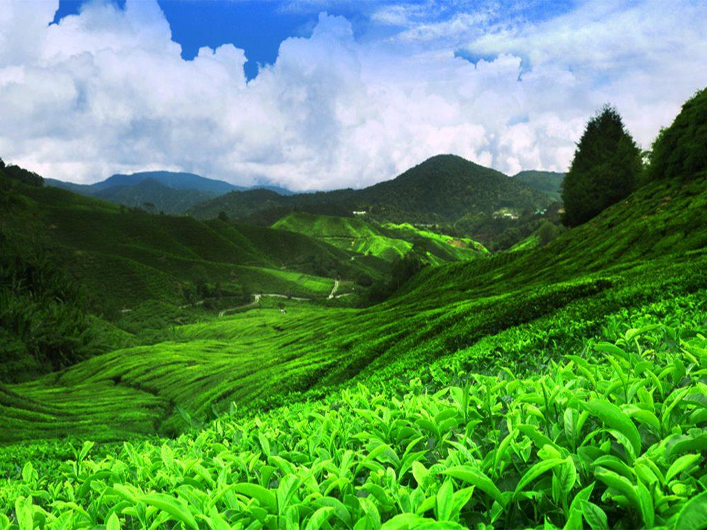tea estates sri lanka